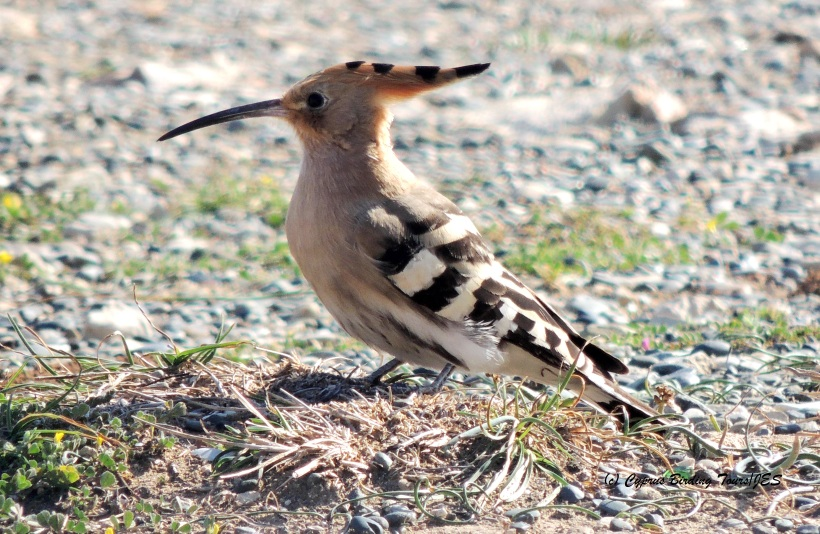 Eurasian Hoopoe Petounta Point 26th February 2015 (c) Cyprus Birding Tours