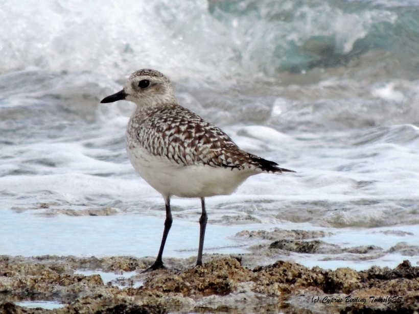 Grey Plover  Agias Trias 14th February 2015  (c) Cyprus Birding Tours