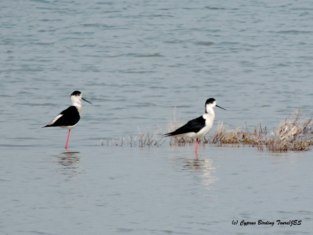 Black-winged Stilt Meneou Pool 17th March 2015  (c) Cyprus Birding Tours