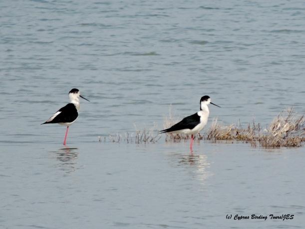 Black-winged Stilt Meneou Pool 17th March 2015  (c) Cyprus Birding Tours