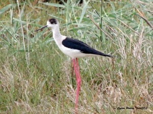 Black-winged Stilt, Phassouri Reed Beds 27th March 2015 (c) Cyprus Birding Tours