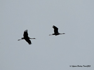 Common Crane 2 Phassouri Reed Beds 27th March 2015 (c) Cyprus Birding Tours