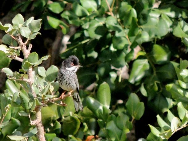 Cyprus Warbler Asprokremmos Dam 2nd March 2015 (c) Cyprus Birding Tours