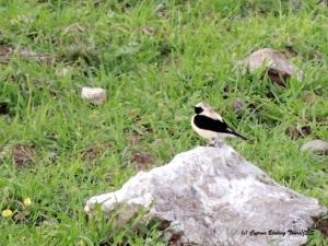 Eastern Black-eared Wheatear Anarita Mast 20th March (c) Cyprus Birding Tours