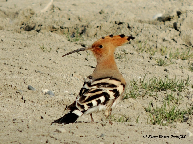 Eurasian Hoopoe Petounta Point 17th March 2015 (c) Cyprus Birding Tours