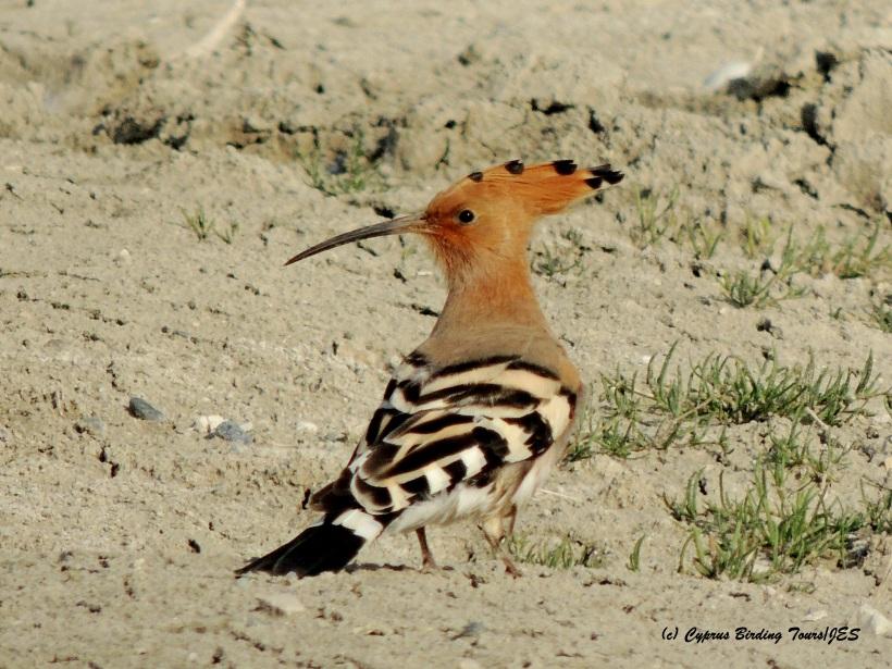Eurasian Hoopoe Petounta Point 17th March 2015 (c) Cyprus Birding Tours