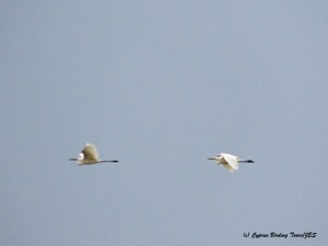 Great Egret Akrotiri Gravel Pits 27th March 2015  (c) Cyprus Birding Tours