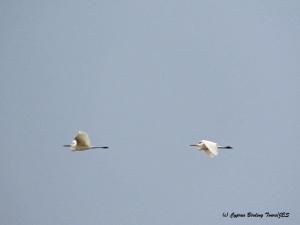 Great Egret Akrotiri Gravel Pits 27th March 2015  (c) Cyprus Birding Tours