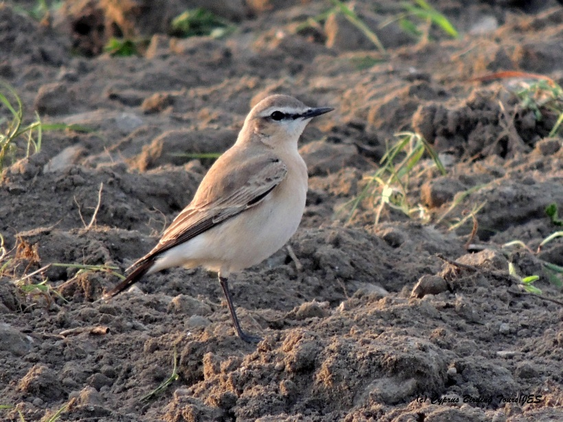 Isabelline Wheatear Larnaca Sewage Works March 7th 2015  (c) Cyprus Birding Tours