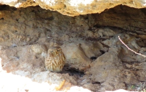 Little Owl Asprokremmos Dam 22nd March 2015 (c) Cyprus Birding Tours