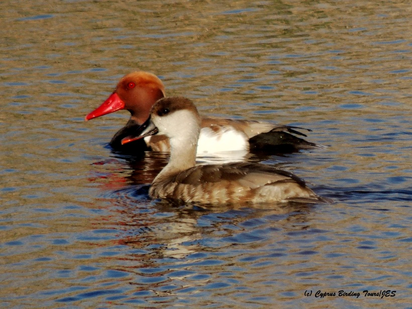Red-crested Pochard male and female Oroklini Marsh 4th March 2015 (c) Cyprus Birding Tours