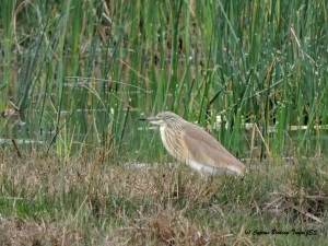 Squacco Heron Phassouri Reed Beds 27th March 2015  (c) Cyprus Birding Tours