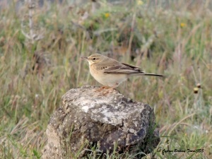 Tawny Pipit, Anarita Mast 20th March 2015  (c) Cyprus Birding Tours
