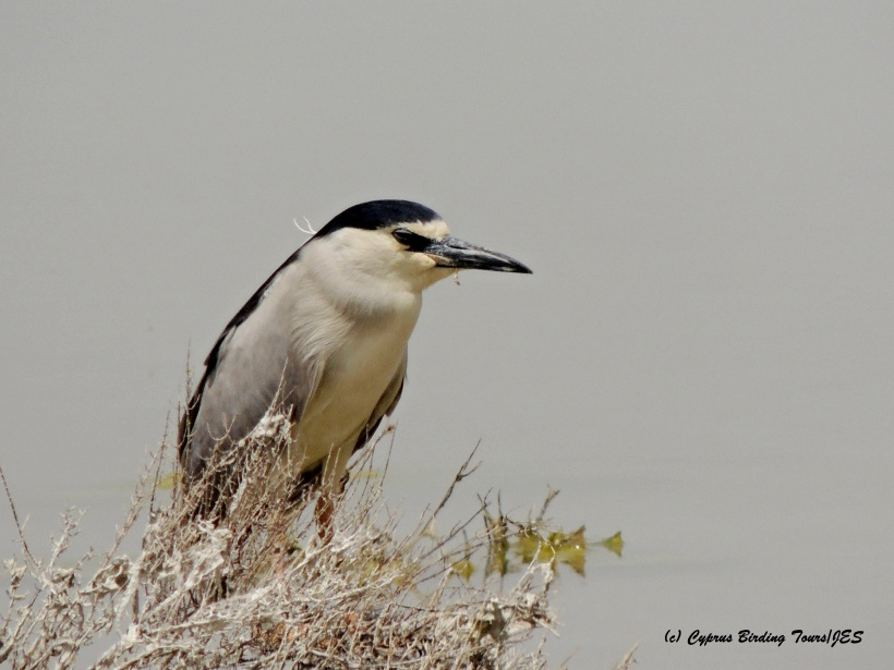 Black-crowned Night Heron Larnaca Salt Lake 29th April 2015 (c) Cyprus Birding Tours
