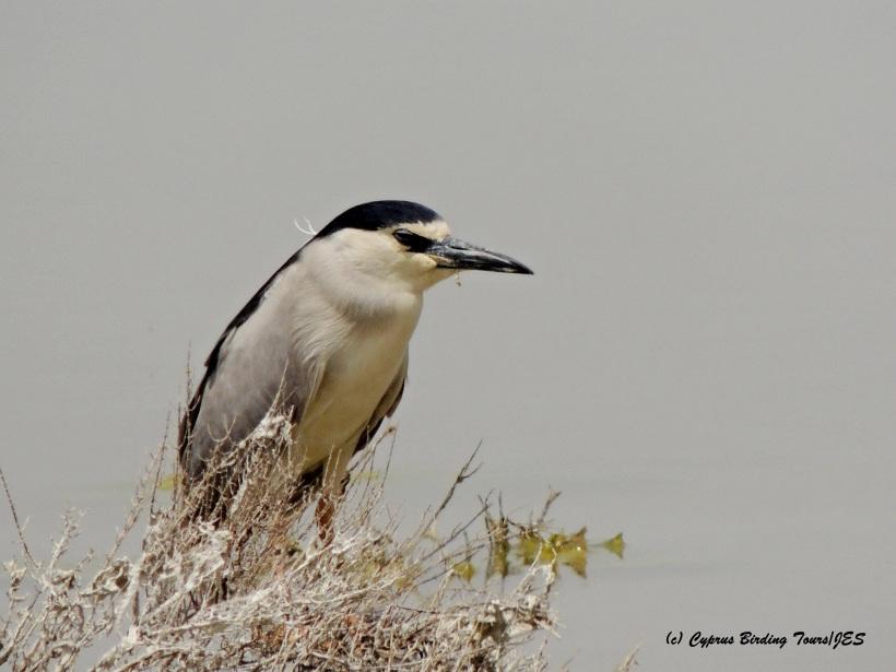 Black-crowned Night Heron Larnaca Salt Lake 29th April 2015 (c) Cyprus Birding Tours