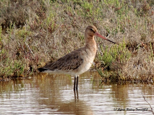 Black-tailed Godwit, Akrotiri Salt Lake 16th April 2015  (c) Cyprus Birding Tours