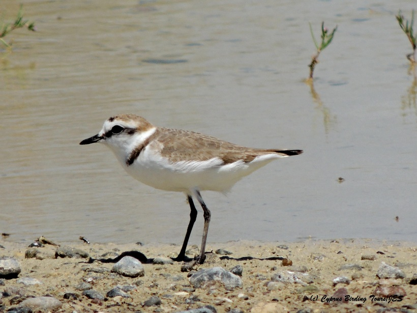 Kentish Plover Petounta Point April 30th 2015 (c) Cyprus Birding Tours