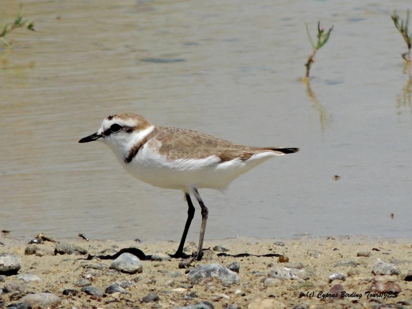Kentish Plover Petounta Point April 30th 2015 (c) Cyprus Birding Tours
