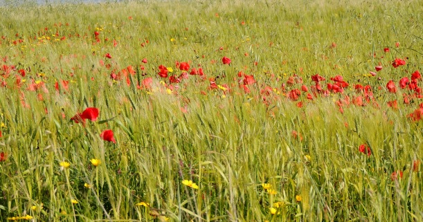 Kivisilli Fields 2nd April 2015 (c) Cyprus Birding Tours
