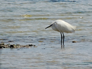 Little Egret Larnaca Salt Lake 15th April 2015 (c) Cyprus Birding Tours
