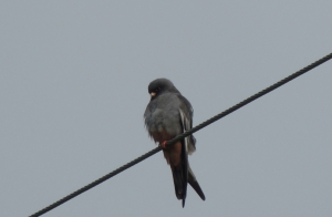 Red-footed Falcon  Anarita Park 14th April 2015 (c) Cyprus Birding Tours