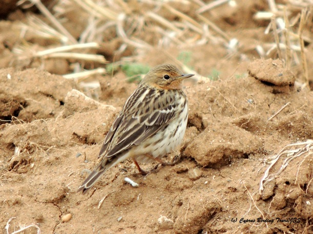 Red-throated Pipit Larnaca Desalination Fields 23rd April 2015 (c) Cyprus Birding Tours