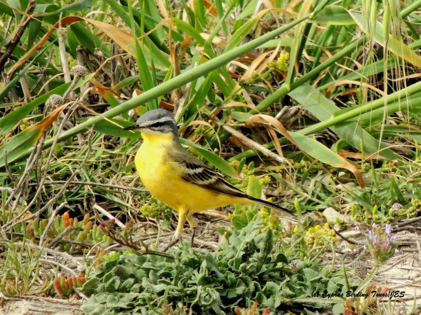 Yellow Wagtail Akrotiri Coast 16th April 2015 (c) Cyprus Birding Tours