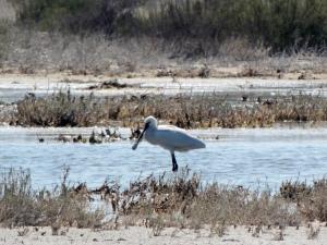 Eurasian Spoonbill Spiros Pool 16th May 2015 (c) Cyprus Birding Tours