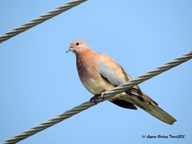 Laughing Dove, Agia Napa Sewage Works May 9th 2015 (c) Cyprus Birding Tours