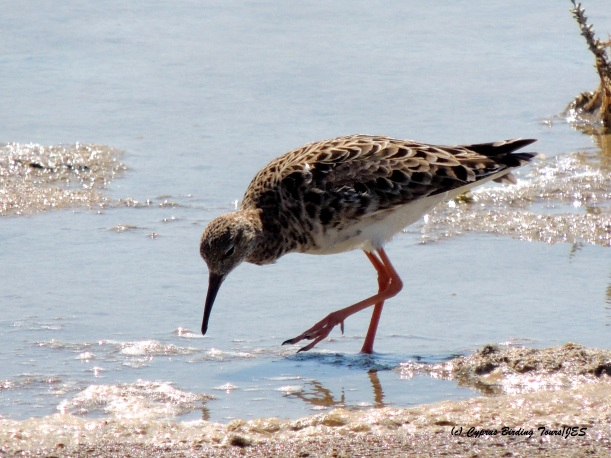 Ruff Spiros Pool 15th May 2015  (c) Cyprus Birding Tours