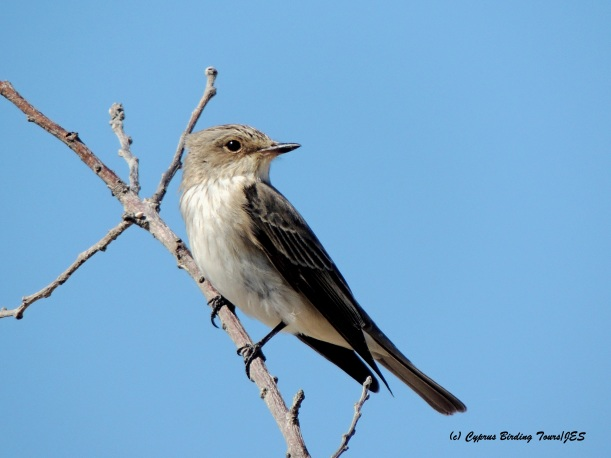 Spotted Flycatcher Livadia 15th May 2015  (c) Cyprus Birding Tours