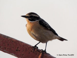 Whinchat Larnaca Desalination Plant 10th May 2015  (c) Cyprus Birding Tours