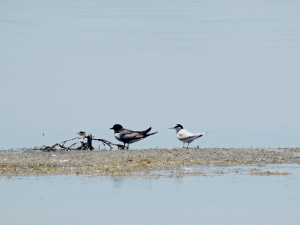 White-winged Tern and Little Tern Akrotiri Salt Lake 16th May 2015 (c) Cyprus Birding Tours