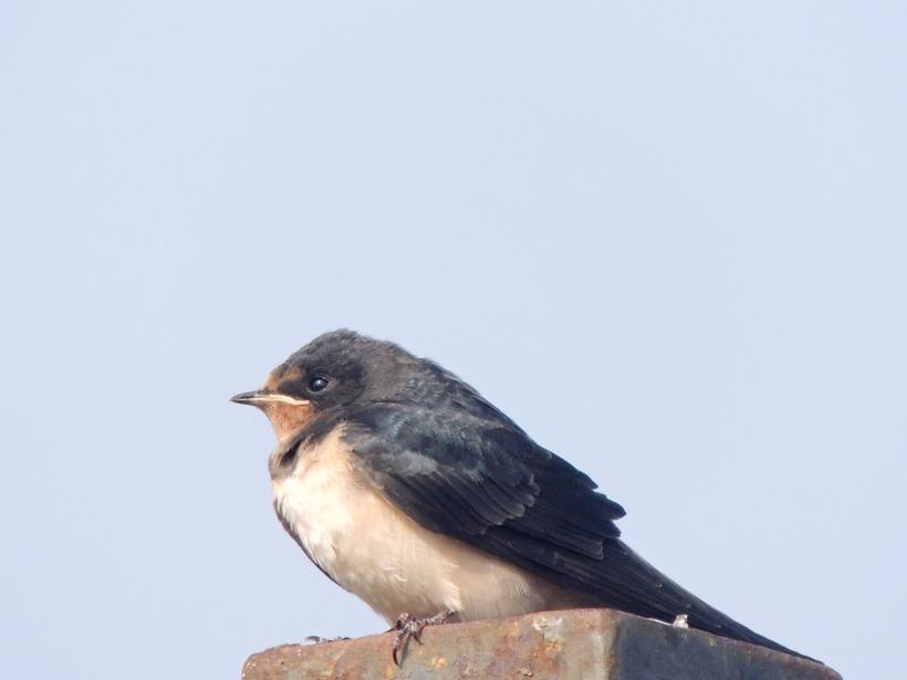 Barn Swallow Larnaca Sewage Works 15th July 2015 (c) Cyprus Birding Tours
