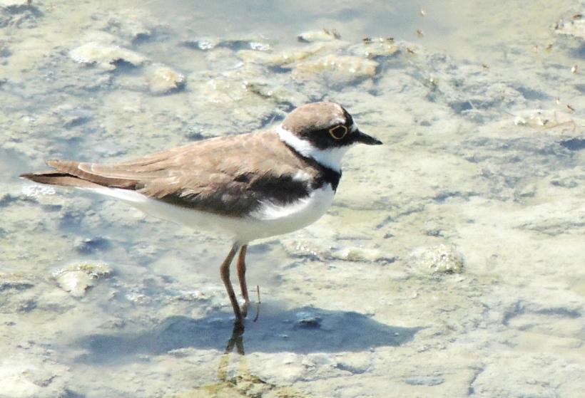 Little Ringed Plover Oroklini Marsh 15th July 2015 (c) Cyprus Birding Tours
