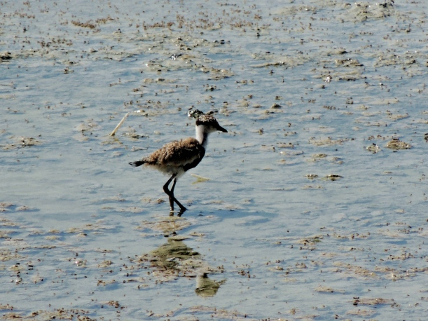 Spur-winged Lapwing chick Oroklini 22nd July 2015 (c) Cyprus Birding Tours