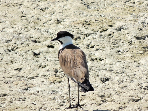 Spur-winged Lapwing Oroklini 22nd July 2015 (c) Cyprus Birding Tours