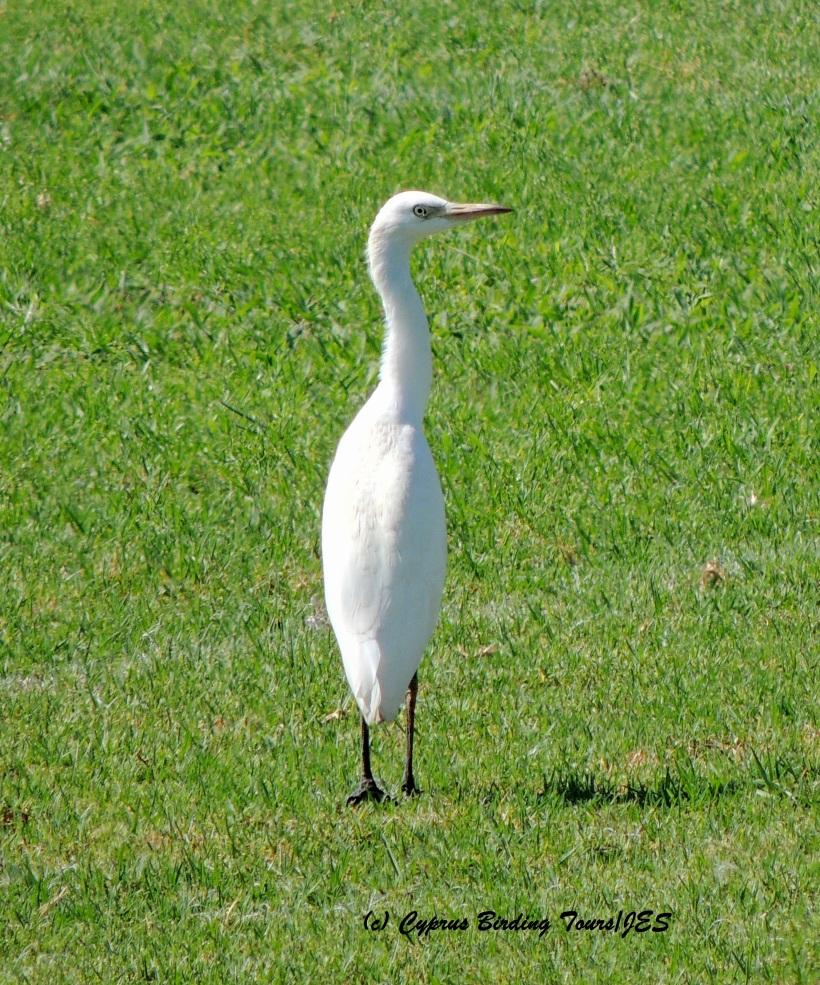 Cattle Egret, Agia Napa Football Fields 8th August 2015  (c) Cyprus Birding Tours