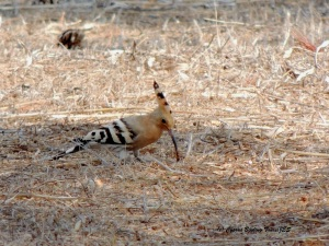 Eurasian Hoopoe Cape Greco 13th August 2015 (c) Cyprus Birding Tours