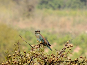 European Roller Arodes 10th August 2015  (c) Cyprus Birding Tours