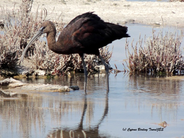 Glossy Ibis Lady's Mile 19th August 2015  (c) Cyprus Birding Tours