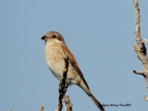 Red-backed Shrike female Agia Napa Sewage Works 13th August 2015 (c) Cyprus Birding Tours
