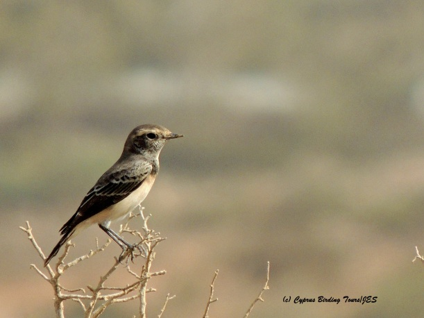 Cyprus Wheatear 2 Cape Greco 12th September 2015 with signature