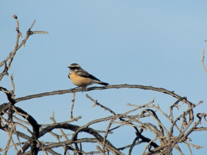 Cyprus Wheatear Minthis Hills 28th September 2015. (c) Cyprus Birding Tours