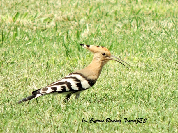 Eurasian Hoopoe Agia Napa Football Fields 13th September 2015 (c) Cyprus Birding Tours