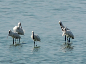 Eurasian Spoonbill Larnaca Sewage Works 19th September 2015 (c) Cyprus Birding Tours