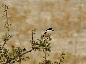 Masked Shrike Panagia Stazousa 19th September 2015 (c) Cyprus Birding Tours