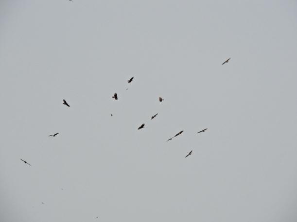 Migrating raptors Cape Greco 12th September 2015 (c) Cyprus Birding Tours