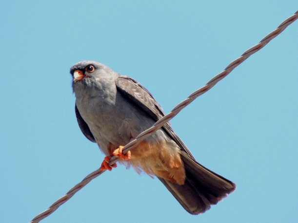 Red-footed Falcon Mandria 25th September 2015 (c) Cyprus Birding Tours