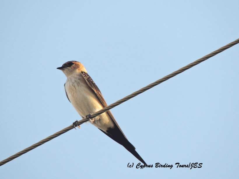 Red-rumped Swallow Meneou Beach 13th September 2015 (c) Cyprus Birding Tours